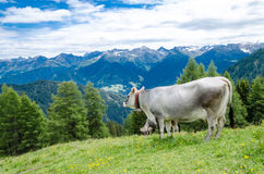 Grey cow in mountain landscape Royalty Free Stock Images