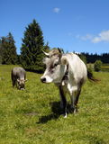 Grey cows Royalty Free Stock Image