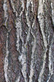 Grey cracked old tree bark Royalty Free Stock Image