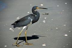 Grey Crane. A grey crane-like bird along a sunny beach Royalty Free Stock Photography