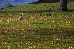 Grey crane on the green grass Royalty Free Stock Images