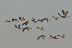 Grey cranes Royalty Free Stock Photos