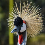 Grey Crested Crane Foto de Stock