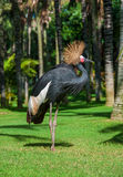 Grey Crested Crane. Royalty Free Stock Image