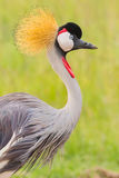 Grey Crested Crane Portrait. A head and shoulders portrait of a Grey Crested Crane - Balearica regulorum. Possibly Africa's most colourful bird. As well as grey Stock Photo