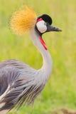 Grey Crested Crane Portrait Stock Photo