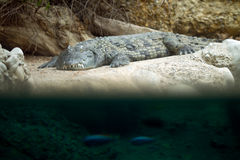 Grey crocodile on shore Stock Images
