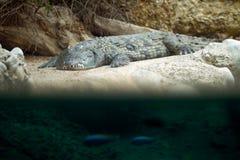 Grey crocodile on shore Stock Images