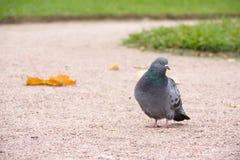 Grey Crow Stock Photo