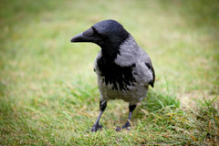 Grey crow Stock Photography