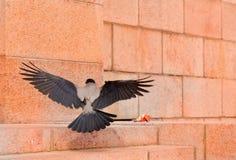 Grey crow Stock Image