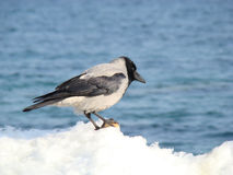 Grey Crow. Eat a piece of bread Royalty Free Stock Image