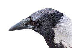 Grey crow closeup isolated on white. Background stock image