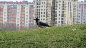 Grey crow on the grass stock photo