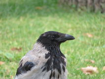 Grey crow on green background Royalty Free Stock Photos