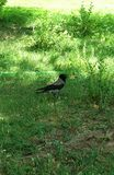Grey crow in the park Royalty Free Stock Image