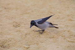 Grey crow on sand Stock Photo