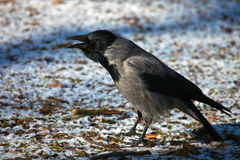 Grey crow sits with an open beak Stock Images