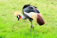 Grey crown crane Royalty Free Stock Photos
