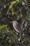 Grey crown heron Stock Photos