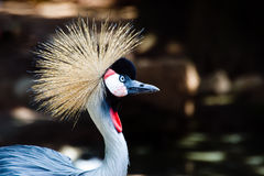 Grey crowned crane Royalty Free Stock Photo