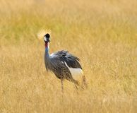 The Grey Crowned Crane Stock Photo