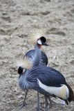 Grey Crowned Crane. Two grey crowned Crane birds against sand stock photography
