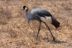 Grey Crowned Crane Royalty Free Stock Image