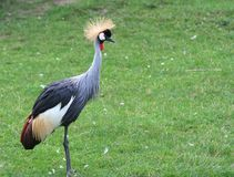 Grey Crowned Crane. Is standing on green grass stock image