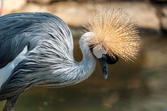 Grey Crowned Crane Lizenzfreie Stockfotos