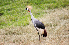 Grey Crowned Crane Arkivbild