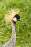 Grey Crowned Crane Stockbilder