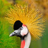 Grey Crowned Crane Lizenzfreie Stockfotografie