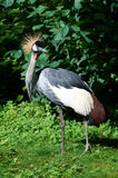 Grey Crowned Crane Stockfoto