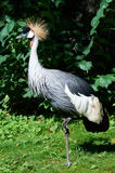Grey Crowned Crane Stockfotos