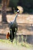 Grey Crowned Crane Fotos de Stock