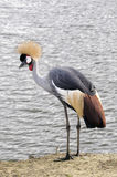 Grey Crowned Crane - Afrikaner gekrönter Kran Stockbild