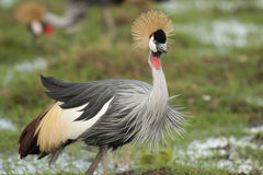 Grey Crowned Crane Stock Photos
