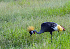 Grey crowned crane, Amboseli National Park, Kenya stock image