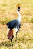 A Grey Crowned Crane Stock Photos