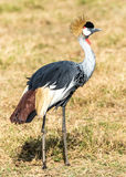 A Grey Crowned Crane Stock Image