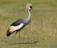 Grey Crowned Crane in Amboseli National Park in Kenya Stock Photo