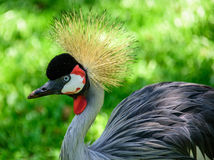 The grey crowned crane on the background of green grass in Iguacu National Park Stock Photography