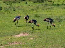 Grey Crowned Crane Balearica regulorum royaltyfria foton