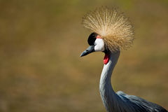 Grey Crowned Crane (Balearica regulorum). Royalty Free Stock Images
