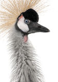 Grey Crowned Crane - Balearica regulorum (18 month Stock Images