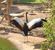 Grey crowned crane (Balearica regulorum) Stock Photo