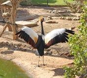 Grey crowned crane (Balearica regulorum). African bird: Grey crowned crane (Balearica regulorum Stock Photo