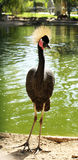 Grey crowned crane (Balearica regulorum) Stock Image