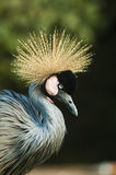 Grey Crowned Crane (Balearica Regulorum). Stockfotografie